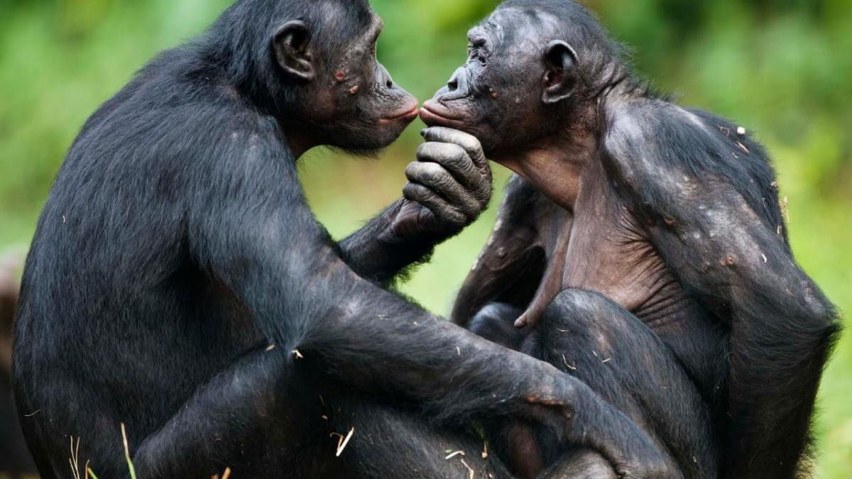 Bonobo 2